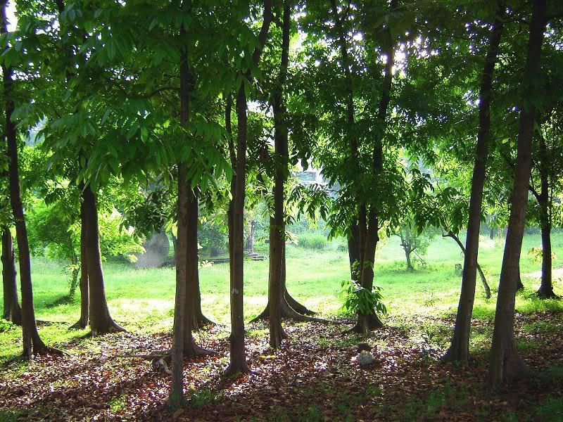 mahogany-nursery