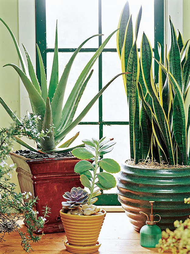 Aloe and Succulents